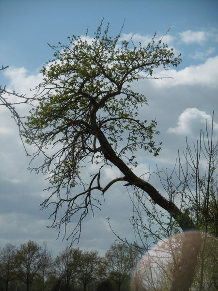sehnde, alter-obstbaum