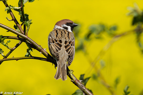 vögel, vogel, wildvogel, sperling, sperlinge, feldsperling