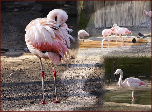 tiere, vögel, collage, flamingos