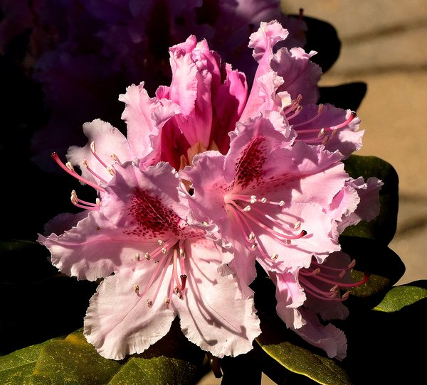 rhododendron, rhododendronblüte