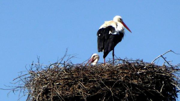 storchennest, weißstorch, storchennachwuchs, storch-im-nest, storchenjunges
