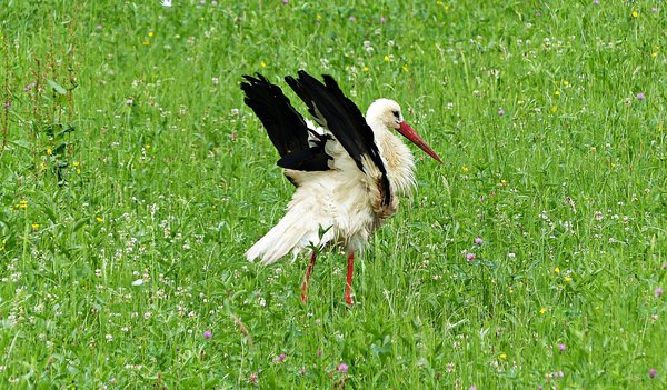 tiere, storch