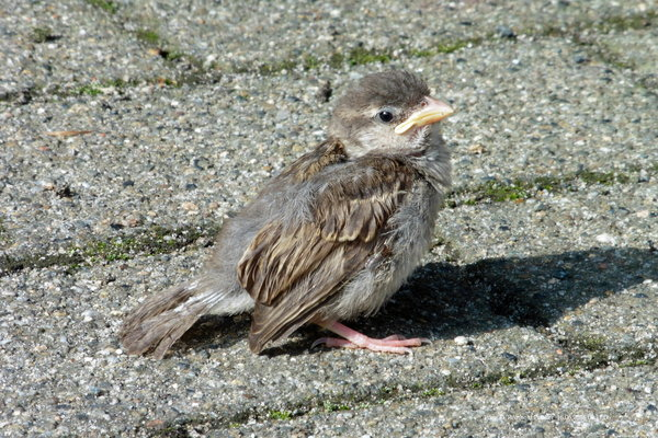 2016, vogelbeobachtung, naturbeobachtungen-in-burgdorf, vogelfotografie, naturbeobachtung-in-burgdorf, vogelbeobachtung-in-burgdorf, spatz, haussperling, vogelfoto, vögel-2016, haussperlinge, sperlingsart