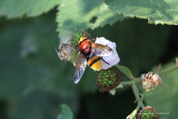 2016, naturbeobachtungen-in-burgdorf, naturbeobachtung-in-burgdorf, insektenfotografie, makroaufnahme, schwebfliege, fliegenart, insektenart-2016, schwebfliegenart, schwebfliegenarten, schwebfliege-2016
