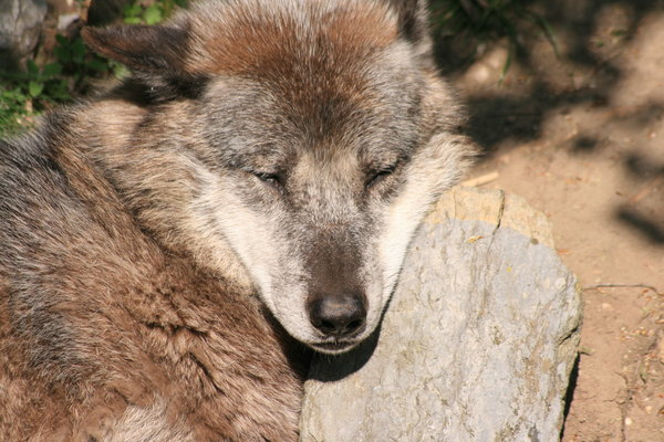 sehnde, wolf-im-zoo-hannover