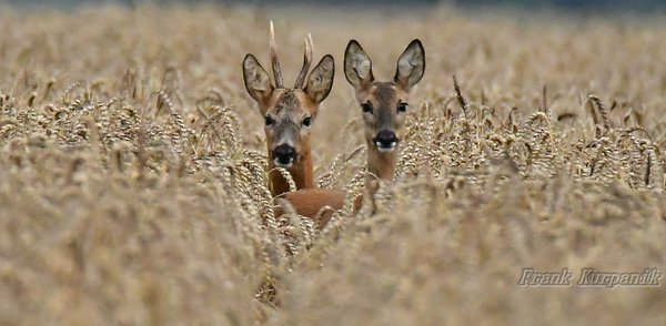 naturbeobachtung-2016, ricke, rehe-in-burgdorf, porträt, tierportraits, rehe-in-burgdorf-2016, tierportrait, juli-2016, portraits, rehböcke, rehbock-2016, bock-und-ricke