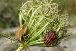 Nördliche Fruchtwanze (Carpocoris fuscispinus, links) und Streifenwanze (Graphosoma lineatum)