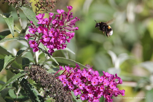 2016, hummel, naturbeobachtung-in-burgdorf, insektenfotografie, naturbeobachtung-2016, insektenarten, hummelflug, hummelarten, insektenart-2016, insekten-im-garten, hummelart, insektenfoto