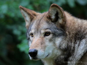 Portrait,Timberwolf !