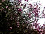 Magnolien, das ist Winter in Kalifornien