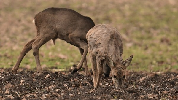 rehwild, rehe-in-burgdorf-2017, reh-2017, rehe-2017, reh-in-burgdorf-2017, waldtier-2017, tierbeobachtung-2017, ricke-2017, wildtiere-2017, waldtiere-2017