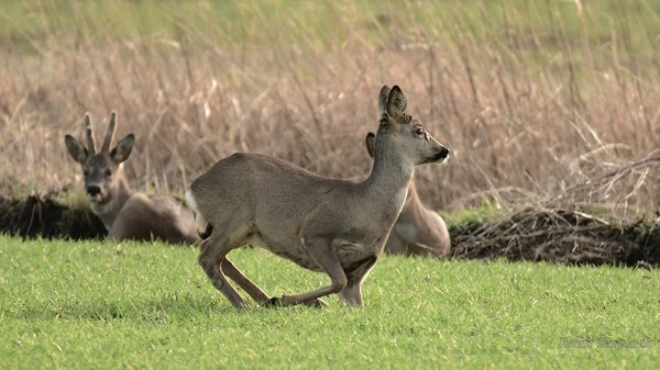 waldtier, rehe-in-burgdorf-2017, reh-2017, rehe-2017, reh-in-burgdorf-2017, waldtier-2017, wildtiere-2017, waldtiere-2017