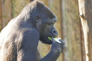 Gorillas in the Sun - Zoo Duisburg