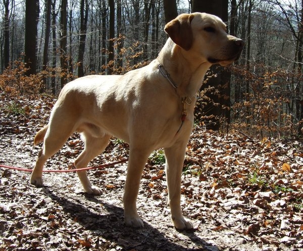 hund, hunde-liebling, labrador, labrador-retriever, ole, labrador-in-bad-wildungen, ole-in-bad-wildungen