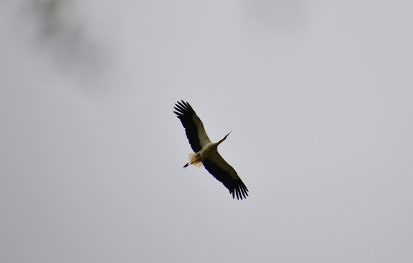 storch, koldinger-seen, überflug