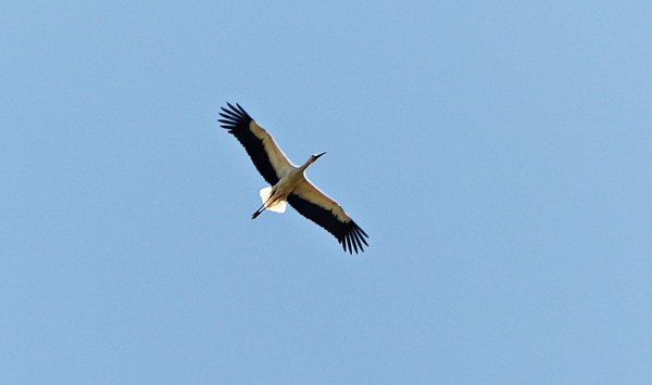 natur, storch