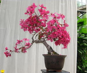 Bonsai-Zierapfel (Malus halliana)