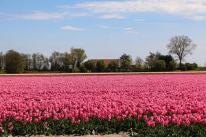 Tupenfelder in Holland