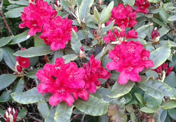 bunter-frühling, rhododendron