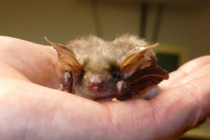 Fledermaus in der Hand.