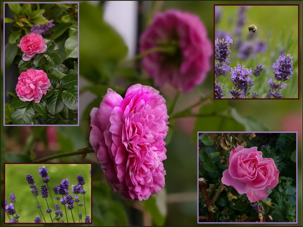 blumen, rosen, collage, lavendel