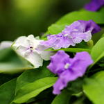 'Yesterday - Today - Tomorrow' (Brunfelsia pauciflora)