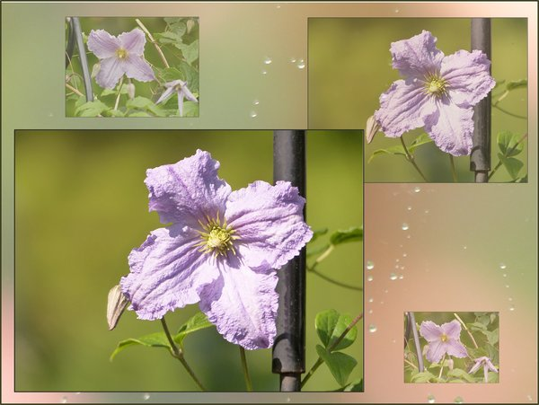 blume, collage, clematis, clematis-blue-angel