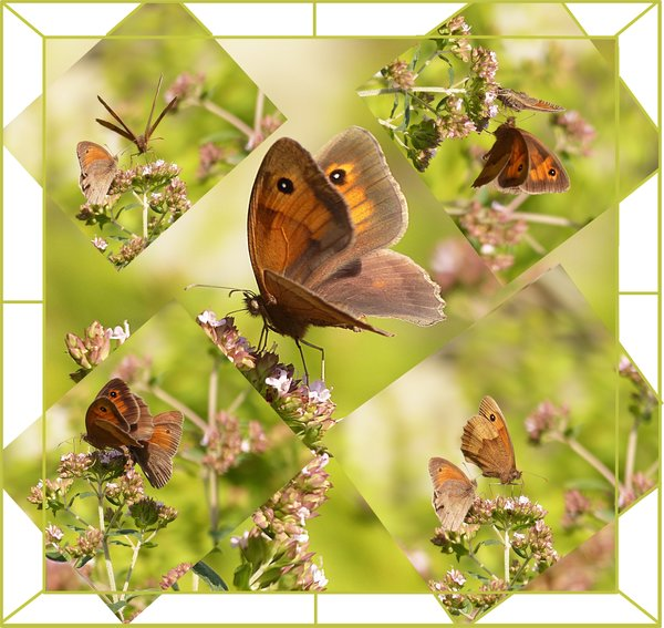 natur, schmetterling, falter, collage