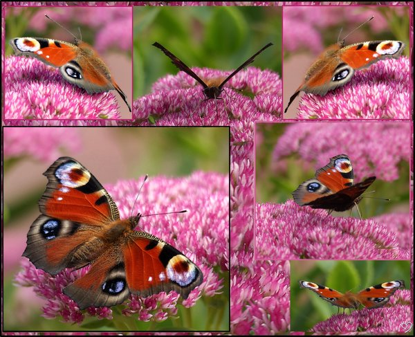 natur, schmetterling, collage, pfauenauge