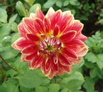 Dahlia Mister Optimist