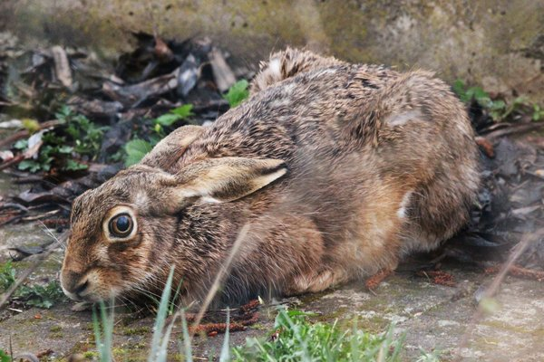 tier, ostern, hase, osterhase, wild, feldhase, wildtier, beobachtung, hasenjagd