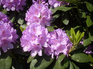 RHODODENDRON!!