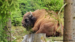 WISENT - WILDNIS / Bad Berleburg