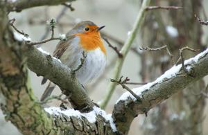 'Little Robin Redbreast', der 'Heilige Vogel' ...