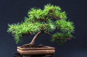 DoRu Bonsai Centrum Hannover