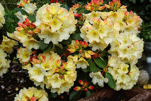 Rhododendron  Macarena