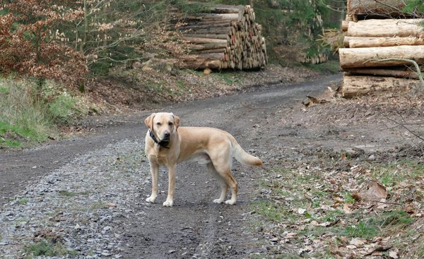 hund, hunde-liebling, labrador, labrador-retriever, ole, labrador-in-bad-wildungen, wochenendgruß, ole-in-bad-wildungen