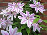 Clematis 'Capitaine Thuilleaux'.