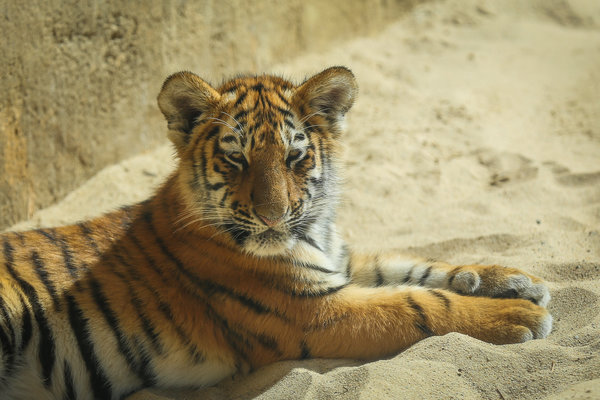 zoo, zoo-hannover, tiger, jungtiere
