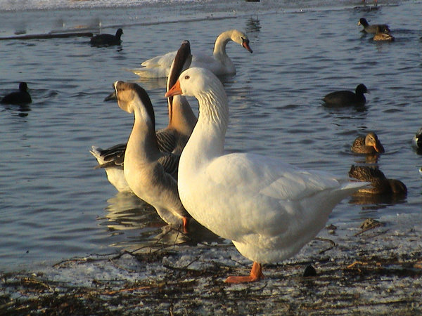 hannover, winter, tier, maschsee, gans
