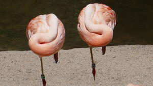 Chile Flamingos