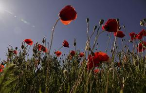 Mohn am Wegrand