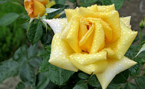 Raindrops on our roses