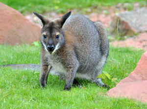 Fotomotive im Erlebniszoo Hannover: Wallaby