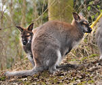 Wallaby im Outback